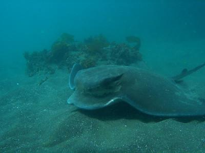 Renee Gallo Bat Ray Anacapa Island  5/12/07 Oly 5060 - ambient light