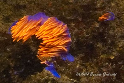 """Bonnie Zaleski Abalone Cove, RPV 5/16 Spanish Shawl and baby! Nikon D70S with 16mm wide-angle lens  """"Wish I had my macro set up....this is a cropped image from my wide-angle shot!  Intense current at the time....shot is a bit fuzzy, but still cute cuz of baby!"""""""