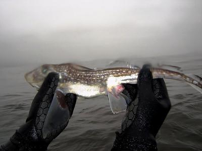 Ron Almero Dead Spotted ratfish courtesy of Loi Nguyen Crescent Bay