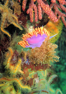 Adam James Spanish Shawl Anacapa- Underwater Island Dive boat the Peace May 17th Canon A540