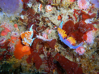Walt conklin 5/12/07 Santa Rosa 60fsw A meeting of the Family's Hermissenda Crassicornis (Horned Aeolid), Flabelina trilineata (Three-lined Aeolid)  Flabelina iodinea (Spanish Shawl) Sea & Sea DX-8000G YS 25 Auto Strobe