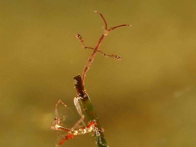 Scott Gietler Skeleton Shrimp (which is actually a caprellid amphipod) Vets Park, May 30th NIkon D80, 60mm lens, dual YS-90dx's