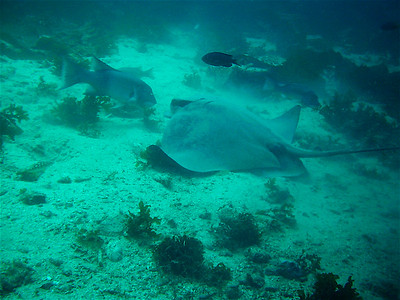 Mary Feuer Sheephead and Bat Ray having a conference at Casino Point. Reefmaster   250, 2.1 megapixel.