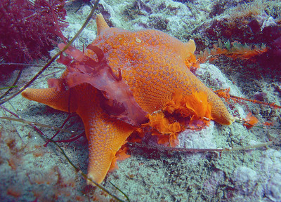 walt conklin Bat Star (Asterina miniata) Leo Carillo 3R's dive 6-09-07 Sea & Sea DX8000G 0.06x conversion lens 20' green water ambient light This Sea Star is getting its color  from eating these like colored algaes.