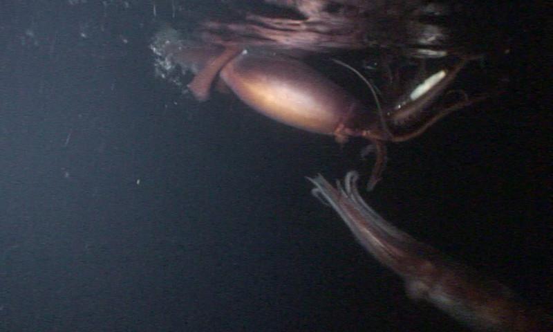 Walter marti  Humbolt squid Offshore orange county, last week