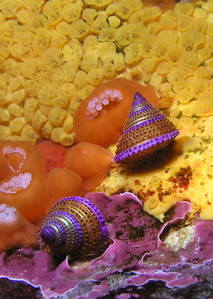 Debbie Karimoto Blue Ring Top Snails on Boring Sponge Submerged Pinnacle at La Bufadora, MX 6/10/07 Olympus 5050 and Inon D180 Strobe My first trip to La Bufadora and hopefully not my last. What fun!