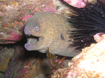 Donna Shelley Moray Eel Avalon Dive Park , Santa Catalina Island , CA 6/3/07 Olympus C-5050z The zebra goby, shrimp and lobster antennae were a bonus. I could barely see in the hole.