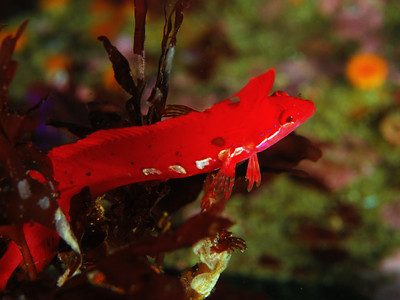 Scott Gietler Crevice or Scarlet Kelpfish Eagle Reef, La bufadora June 10th Nikon D80, 60mm lens, dual YS-90DX