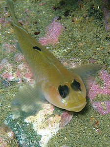 Loi H. Nguyen Black eyed goby Canon Powershot A95; F/6.3; 1/160 sec Internal flash on; no external strobe; spot metering Shaw's Cove June 9, 2007
