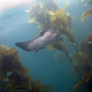 Scott gietler Bat Ray Anacapa Island, north side Nikon D80, 16mm lens