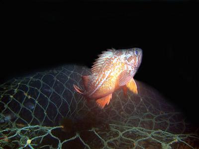 Phil Garner Vermilion rockfish Fog Wreck off Long BeachSunday, July 15 fuji e900, ike DS-51 strobe