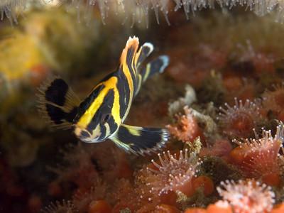 Scott Gietler Juvenile Treefish, Corynactis Point Dume pinnacles, Fri july 13th Nikon D80, 60mm lens, dual Ys-90dx strobes