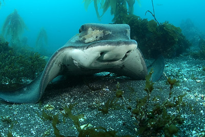 Mike Bartick bat ray anacapa, july 8th canon 400d, 15mm lens