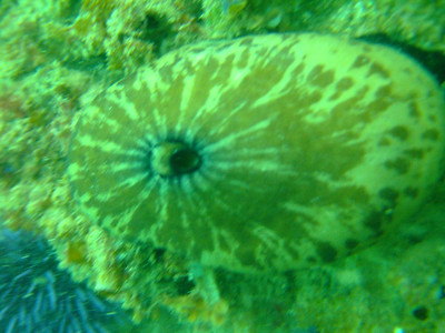 victor morita Giant Keyhole Limpet Old MarineLand 120 reef Fuji f-10