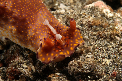 Mike Bartick Nice cuthona nudibranch, with a passenger Lembeh Straits, Indonesia Canon 400 D, 100 mm lens, full manual