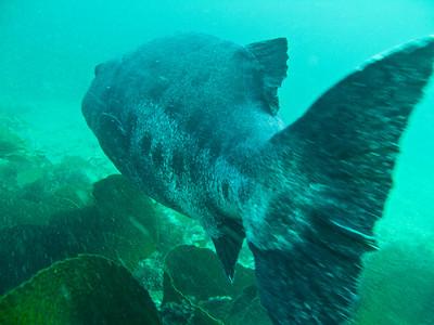 Billy Farah Giant Sea Bass Landing Cove , Anacapa 7/19 Fuji E900