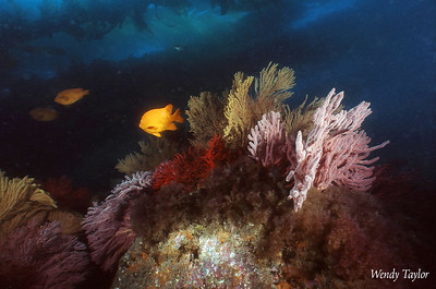 Wendy Melill Taylor Reef Shot West end of catalina, July 18th www.Waterimages.com