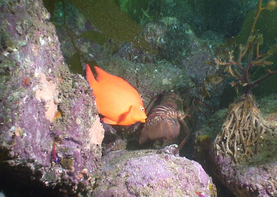 Walter Marti Garibaldi trying to eat lobster eggs.  The lobster was out and about in the daytime, being harassed by Garibaldi.  My initial impression was the Garibaldi was chasing away the lobster, maybe from it's nest.  On closer observation it was clear that the Garibaldi was being evil, or hungry. Clips from my Sony HC1 video. Catalina