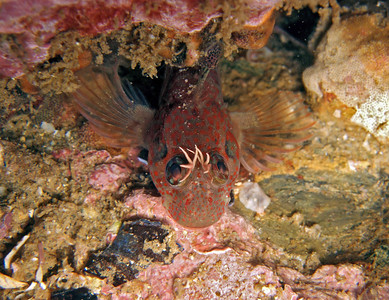 "Penelope Foo Rockpool blenny Shaw's cove, Laguna Beach Fuji F10 ""This blenny is like an angel showing its wings"""