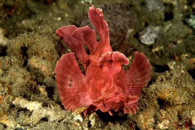 mike bartick Very elusive Rhinopia. This one is of the red  variety. More violet in color i would say.... Lembeh straits, indonesia Canon xti, macro 60mm, 2 strobes