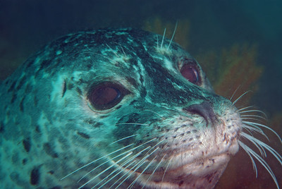 Scott Gietler Harbor seal Malibu, CA Aug 4th, 2007 Nikon D80, 60mm lens, dual YS-90 strobes