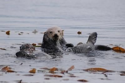 Tim Conklin Sea Otter (Enhydra lutris) Morro Bay CA 7/28/07 Nikon D80 Sigma 300mm Mom & her pup eatting crabs and fending off seagulls