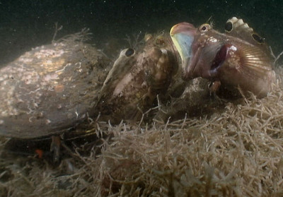 walter marti Two sarcastic fringehead's having a bit of a talk.  The little one was making a statement to the way bigger one.  Bad move.  He ended up cowering in his clam shell for a while.  I separated the two of them.  The bigger one still swam back to tell the smaller one that wasn't very neighborly. Newport pier maybe ?  HC1 video camera.