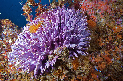 "Jeff Laity Hermissenda Crassicornis nudibranchs frolic on the Purple Hydrocoral Farnsworth Banks, Catalina Canon 5D / Ikelite housing / Inon Strobes ""At least 4 nudies in this photo"""