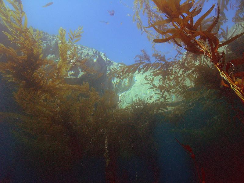Walt conklin kelp shot, Anacapa Sea & Sea DX8000G wide angle