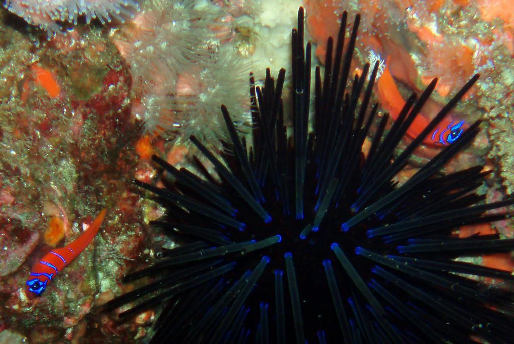 Dan Schooler  Farnsworth banks, Aug 11th blue-banded gobies, black sea urchin, white anemones Olympus Stylus 600 / Oly housing / internal strobe