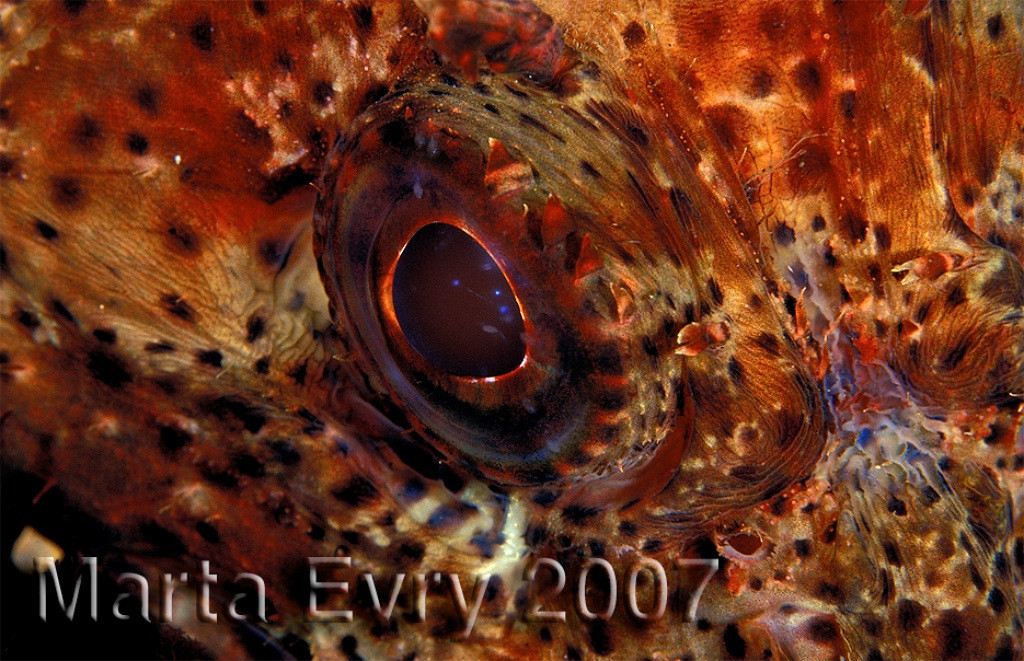 Marta Evry eye of the California Scorpionfish Farnsworth, Catalina Nikon F4 in a Nexus housing, 105mm 2.8 lens 2 SS50 strobes Kodak E100vs slide film F16 at 1/250th
