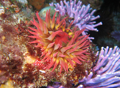 Dana Rodda Urticina lofotensis - White Spotted Rose Anemone and Stylaster californicus -  California (Purple) Hydrocoral - 70 ft -  Farnsworth Banks from Sea Bass dive boat - Canon Powershot S80 / Ikelite Housing with internal strobe