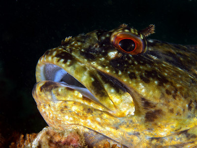 "jim lyle ""Don't bother me, I've just eaten."" Cabezon (Scorpaenichthys marmoratus) Buchanan's Reef, near Old Marineland Olympus E-330 & Zuiko 50mm lens; dual Ike DS-125s"