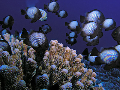 kevin glenn Hawaiian Domino Damselfish  (a butterflyfish snuck in there too) Shot with an Oly 5060 in a PT-020 housing, Inon D-2000 strobe.  The strobe is my first and I've only used it a couple of times prior to shooting this. Dive site:  Red Hill (Pu'u Ola'i), MauiShot on 8/12