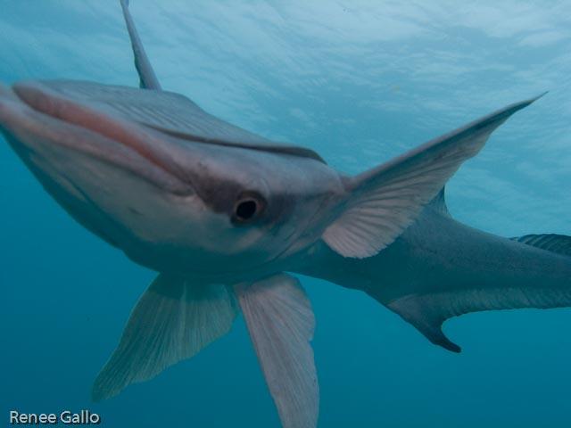 "Renee Gallo 8/15/07 Playa del Carmen, MX Jardines Sharksucker (species not in my book) He followed us half to dive, seems he wanted a new ""buddy""."