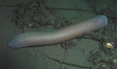 Walt Conklin Peanut Worm, Phylum Sipuncula Vet's, redondo 8/22/07 Sea & Sea camera DX-8000G
