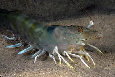 Kevin Lee Brown Shrimp, Penaeus californicus Venue: Vet's, Redondo Date: 8/22/2007 Rig: Nikon D200, dual YS-110 strobes