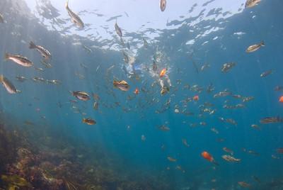 """scott gietler """"get the diver""""  kelp bass, garibaldi, opaleye, and topsmelt catalina dive park nikon d80, 10mm lens, dual ys-110 strobes"""