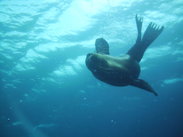 mary feuer Sea Lion at Anacapa.  CAMERA: Reefmaster 250. My last day shooting   with this camera before it got stolen.