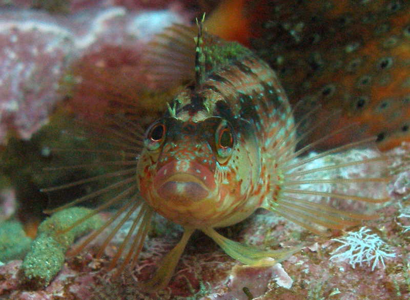Russell Burt Landing Cove, Anacapa 30 Aug 2007 Island Kelpfish Olympus SP350, Olympus PT30 housing, Sea & Sea YS90 strobe I was testing the macro capabilities of my new camera (to replace the   one that flooded at Farnsworth), and fortunately this guy let me get   really close. Like gobies, they never move far away even when scared,   so I was able to spend a few minutes getting the shot I wanted.