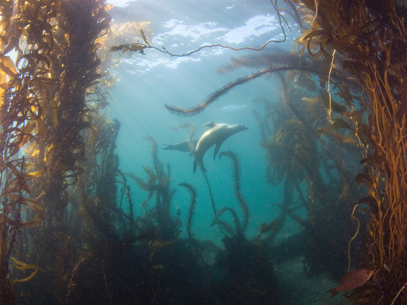 """scott gietler frolicing sea lions, black perch, kelp Anacapa, Cathedral cove, Sep 8th nikon D80, 10mm lens, dual Ys-110's """"It was very soothing in the shallow kelp here"""""""