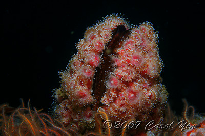 Carol Yin Canon 5D w/100 mm lens, dual Ike DS 125s 9/3/07 Oil Rig Ellen Mussel and Corynactis Californica The oil rigs are like an underwater rose parade; every inch must be covered with flowers!