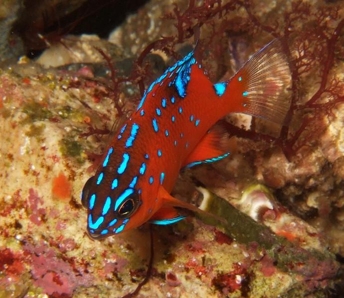 "Penelope Foo Baby Garibaldi Catalina Dive Park, Casino point Fuji F10 ""There's a red rock shrimp in the upper left corner also!"""