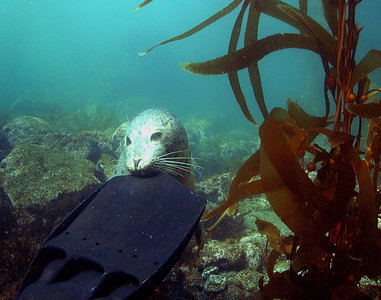 walt conklin Harbor Seal (Phoca vitulina) Anacapa Island @ French Fingers Sea & Sea DX-8000G  ambient light 17mm wide angle After 45min of playing hide and seek this guy made contact.