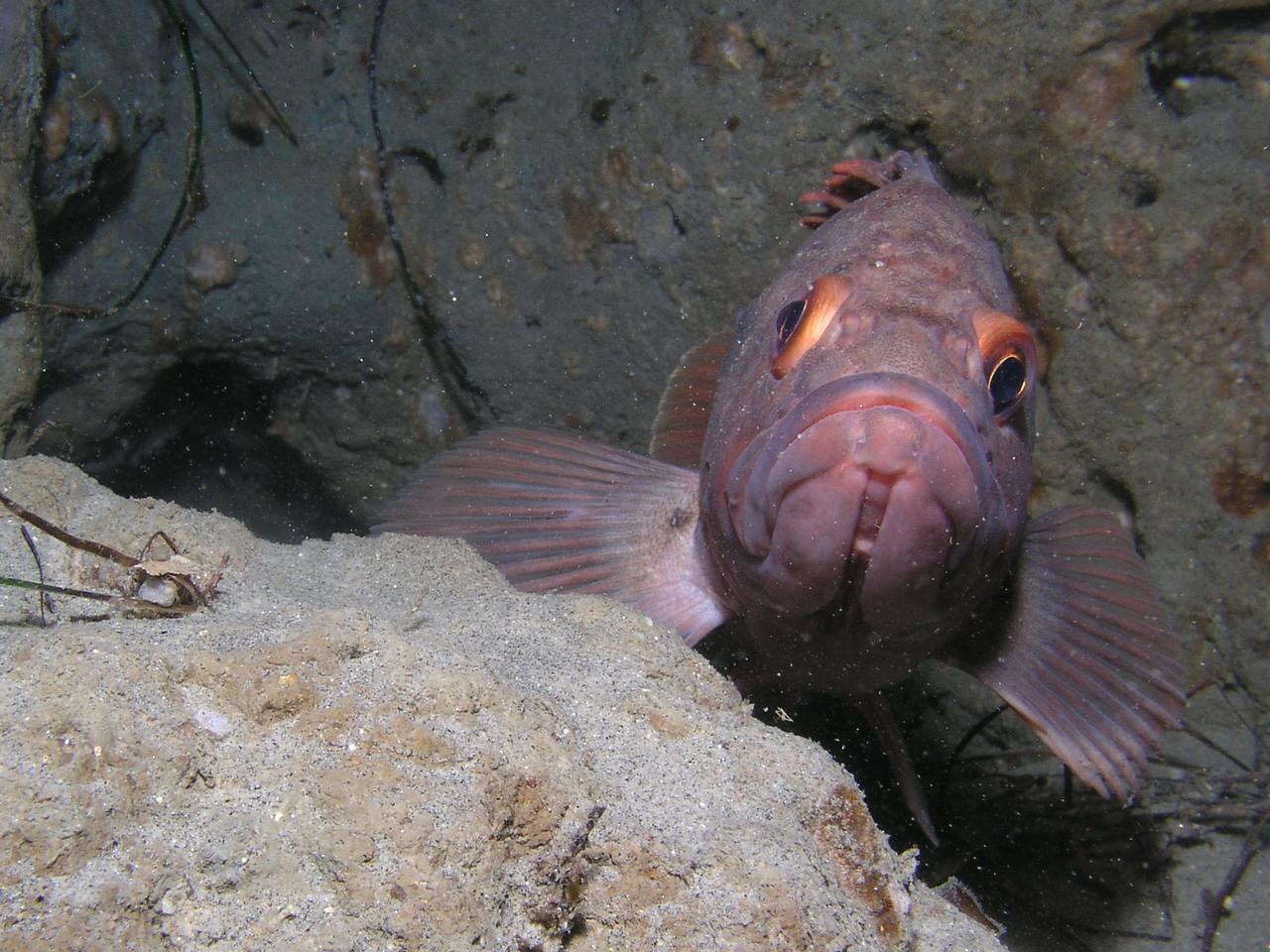 Jen Tople 9/17/2007 La Jolla Shores Vallecitos Point Rock Fish, probably a Brown Rockfish Oly 5060, ikelite strobe