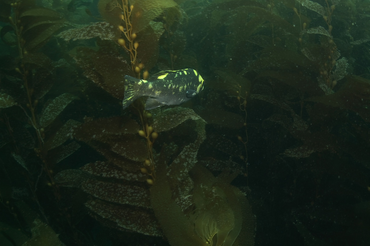 """mike bartick  opaleye, yellow coloration anacapa, cathedral cove Canon xti, sigma 15mm lens """"this is a rare coloration of an opaleye"""""""