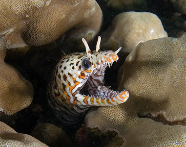 "scott gietler dragon moray, Enchelycore pardalis koloa landing, kauai, HI nikon d80, 17mm lens, dual Ys-110's ""penny found this cute guy in the beginning of our dive"""