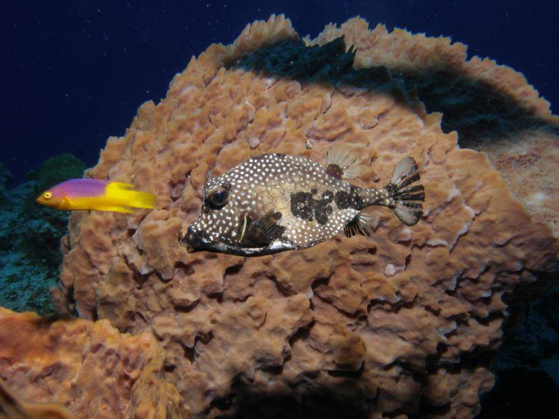 david fricks spotted trunkfish, Lactophrys bicaudalis  Camera: Olympus SP-350 Strobe: Sea n Sea YS-90Auto Location: Cozumel Mexico – Palancar Reef F stop 8, Shutter 1/100 sec. ISO 100