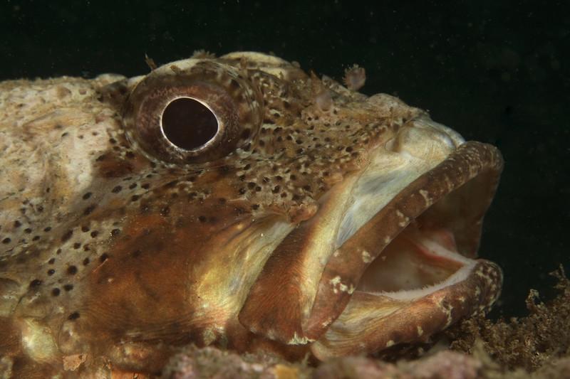 mike bartick cal scorpionfish  deadmans reef, laguna