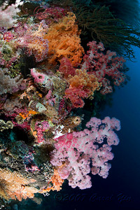 Name: Carol Yin Date: Sept 24, 2007 Location: Wakatobi Subject: Soft Corals Camera: Canon 5D, dual Ikelite DS-125s Comment: It's hard to take a bad picture here...